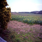 The path led us past fields and fields of daffodils and narcissi