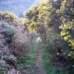 This steep downhill climb took us underneath a veritable forest of ancient gorse bushes