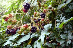 Blackberries on Gypsy Lane