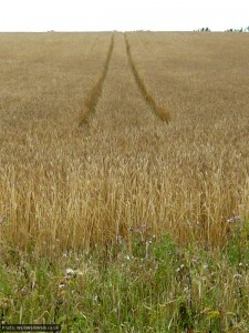 Twin tracks in the corn