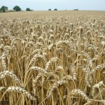 Miles and miles of healthy crops