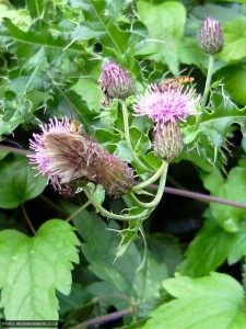 Hover flies on thistle flowers