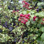 Sloes and blackberries grow wild