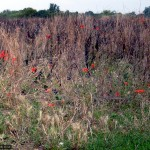 Red poppies and blackened grasses make an artistic contrast