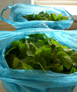 Bags of collected nettle tips