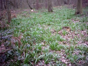 Woodland bluebells preparing to flower