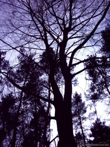 Deciduous and coniferous trees against the sky