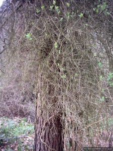 A treetrunk swathed in sprouting creepers