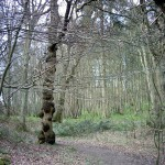 The knobbly trunk of a sweet chestnut