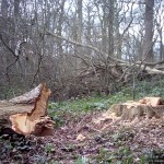 Recently-felled oak
