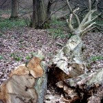 Another felled tree