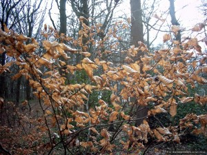 A sapling displaying last season's leaves