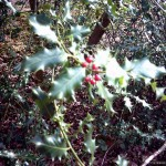Unseasonal holly berries!