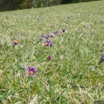 This Pasque Flower colony is one of England's biggest