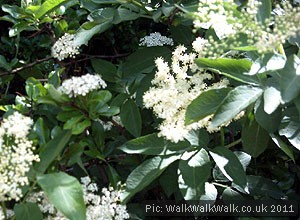Elderflowers in bud and flower
