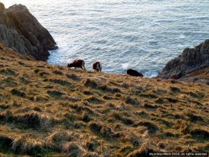 Goats on Lundy Island