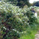 A great opportunity for blackberrying