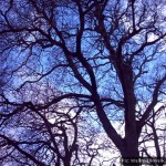 Blue sky behind mature tree branches