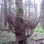A tangle of twigs growing low on a tree trunk