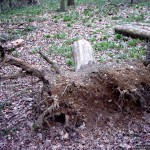 A recently-uprooted stump