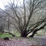 The spreading branches of a beech tree