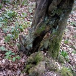 A mysterious cleft at the roots