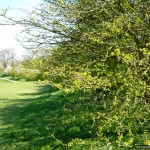 Spring hedgerow
